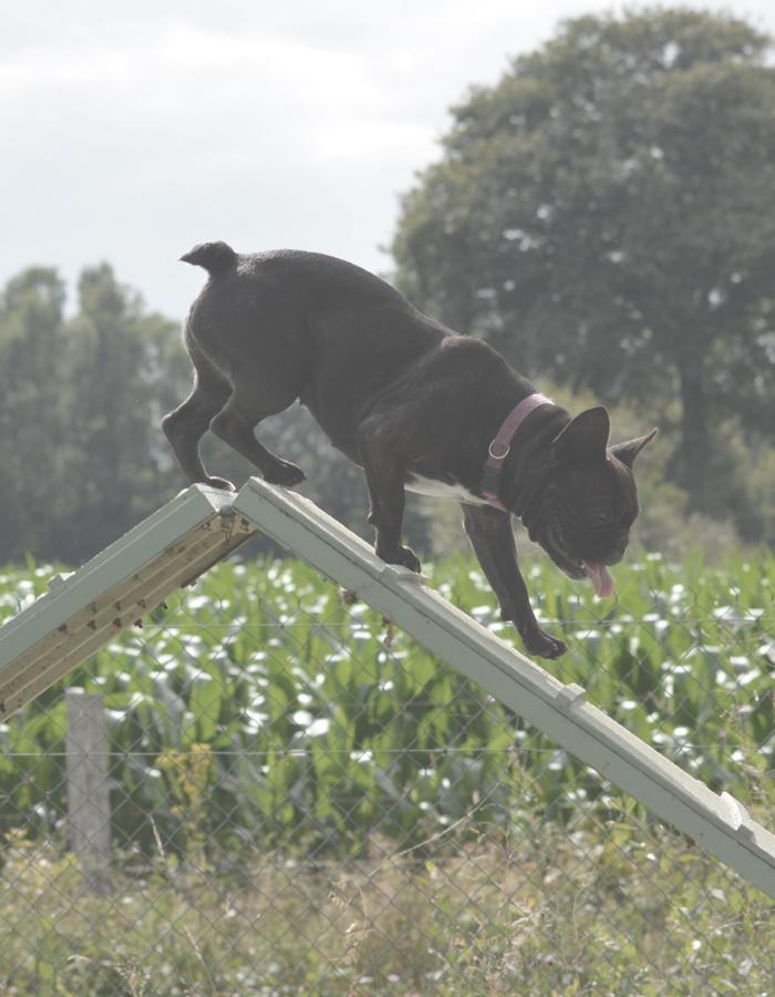 Agility Dog - Educagil