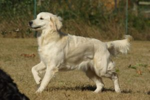Elevage Golden Retriever