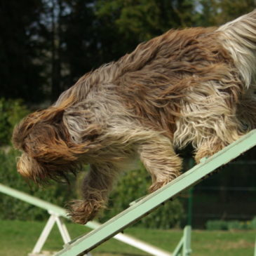 Animation en agility dog le 29/09/19 à Pouancé