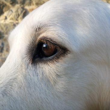 La vision chez le chien
