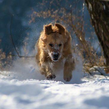 La neige, un plaisir pour les chiens