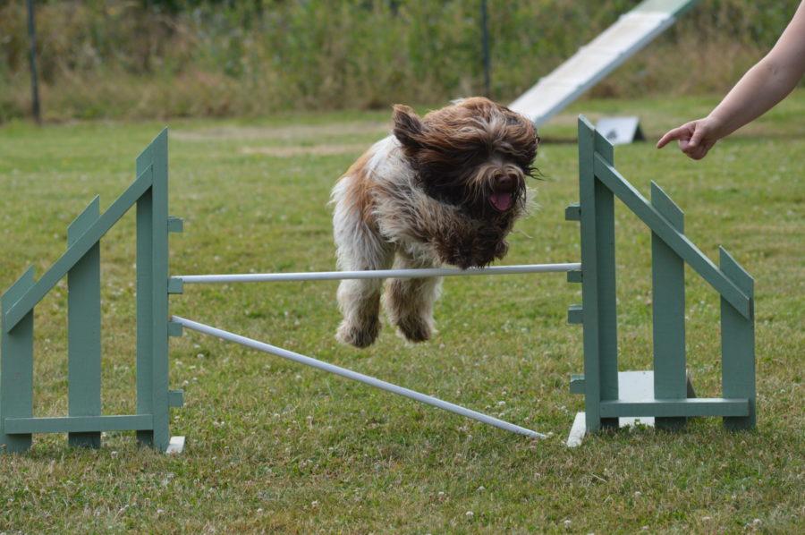 agility dog, education chien, entre Ballots et La Guerche de Bretagne