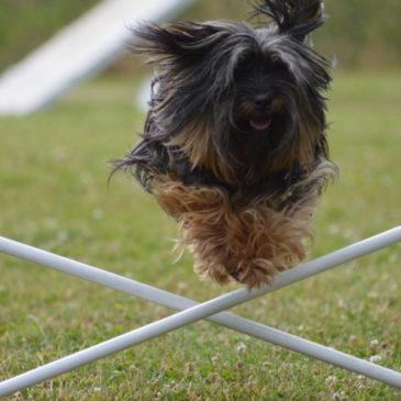 Cours d'agility dog, un loisir avec son chien