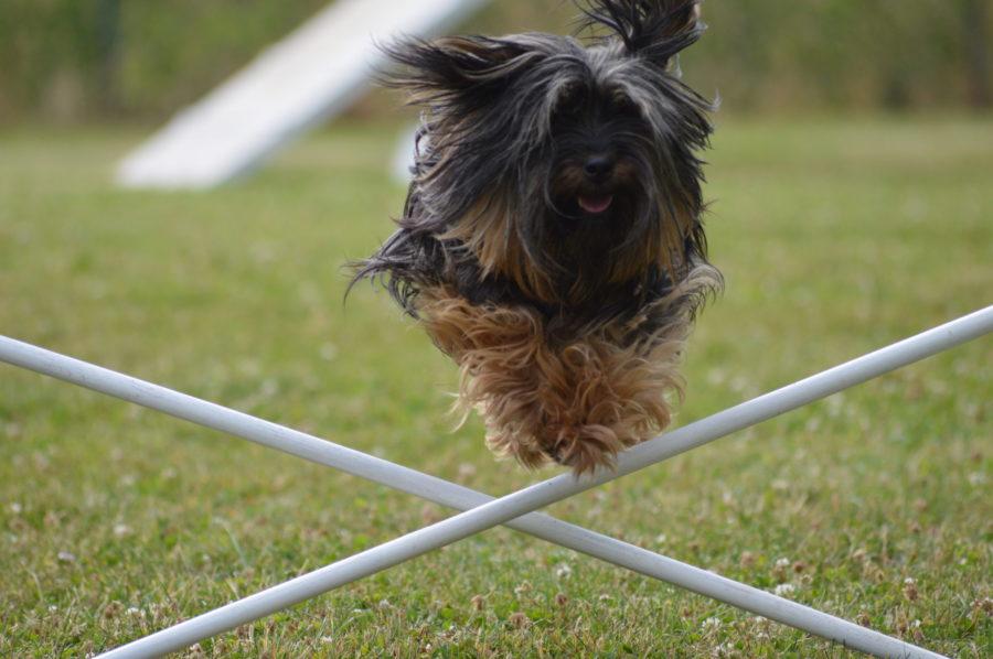 agility, educateur canin, St Aignan sur Roë, Ballots, La Guerche de Bretagne
