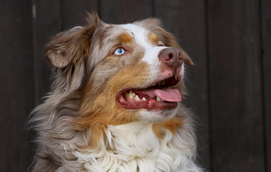 berger australien, comportement canin, proche Craon
