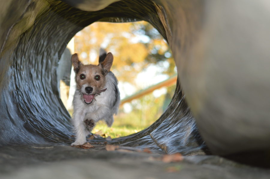 tunnel agility dog