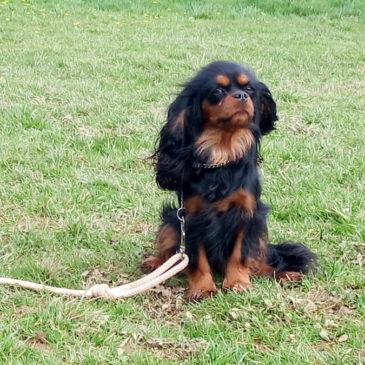Cours d'éducation canine et Covid 19